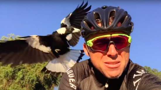 magpie-continually-attacks-cyclist